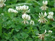 Clover- White Dutch  (Trifolium Repens) - 500 Seeds