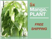 5x Mango Tropical Fruit Tree Plant (Turpentine) Varieties seedlings
