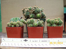 BUY ONE GET ONE FREE Green Barrel Cactus plant Easter Flower Echinopsis.