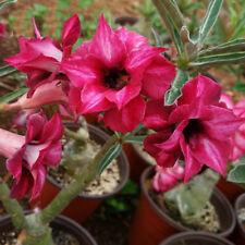 "5pcs Desert Rose Flower Adenium obesum Seeds ""Ghosts""  #A010"