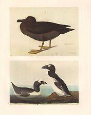 VINTAGE JOHN JAMES AUDUBON BIRD PRINT ~ MANTLED SOOTY ALBATROSS ~ GREAT AUK