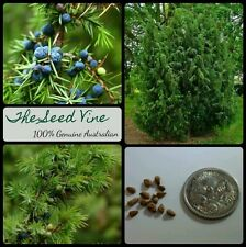 30+ ORGANIC COMMON JUNIPER SEEDS  (Juniperus communis) Berry Popular Bonsai Tree