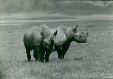 Two rhinoceros grazing, Kenya. - 8x10 photo