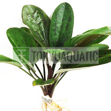 Amazon Sword Bunch Echinodorus Hadi Red Pearl Freshwater Live Aquarium Plants