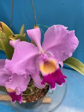 Cattleya trianae Tipo 4� Pot New Di 00006000 vision Newly Potted Spiking Fragrant (15)