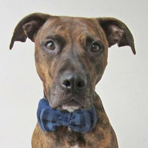 Dark Blue Sateen Bow Tie for Dogs (UOH) - FREE SHIPPING