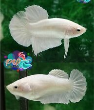 LIVE BETTA FISH PAIR M/F WHITE PLATINUM SOLID COLOR HMPK READY TO BREEDING (SW3)