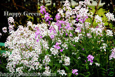 Sweet Rocket - Crown Mix - 800 seeds - Hesperis matronalis - BIENNIAL FLOWER