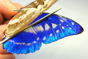 Unmounted Butterfly / Morphidae - Morpho cypris chrysonicus, male 2, RARE,...