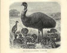 Stampa antica UCCELLO EMU' Dromaius novaehollandiae 1891 Antique print