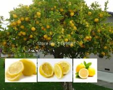 50 fruit lemon tree Mini Bonsai Plants High survival Rate Fruit Seed For Home Ga