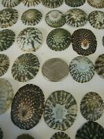"""50+ Limpet Shells .75"""" to 1.5"""" Variety Keyhole/Non-Keyhole Crafts Beach Decor"""