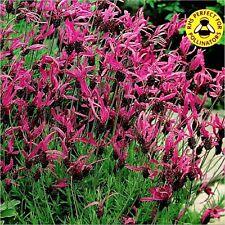 BUTTERFLY LAVENDER (Lavandula Stoechas French) 35 seeds (#1324)