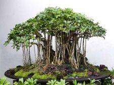 Rainforest Banyan Tree (Ficus benghalensis), Jamaica, 5 Seeds, Regular / Bonsai!