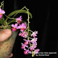 TS1020.159 Phalaenopsis San Shia Appendo Bare Root Miniature T101