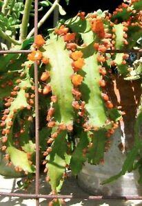Rhipsalis Acanthorhipsalis Monacantha * Lepismium Pfeiffera Cacti * 10 Seeds *
