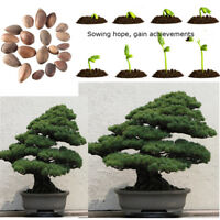 20pcs Japanese White Pine Pinus parviflora Green Tree Plant Bonsai Seeds Home