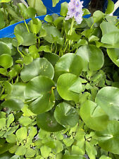5 Hyacinth*Plus 5 Water Lettuce - Pond Plant - Pond Flower - Great for Koi Ponds