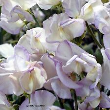 Sweet Pea High Scent GROW THESE FOR THEIR INTENSE FRAGRANCE MODERN GRANDIFLORA