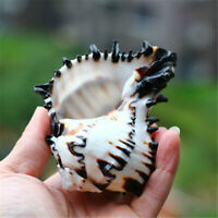 "1 Piece Black Striped Conch Shell Murex Shells Home Ornament Decoration 4"" - 5"""