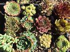 Assorted Succulents x 12