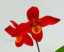 Phragmipedium Sunset Glow Jungpflanze Orchidee Orchideen