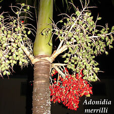 Christmas Palm Tree Adonidia merrilli 15 LIVE SEEDS TROPICAL Dwarf Royal Palm
