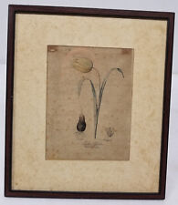Antique Early Flower Tulip Dutch Colored Engraving Print Floral Study European