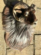 Taxidermy  Head Vintage  shoulder Mount  Goat Rams Head