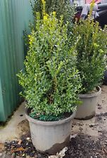 ENGLISH BOX HEDGE PLANTS IN 330 mm (13 inch) POTS