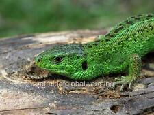 Old Photo. Lacerta Agilis Sand Lizard