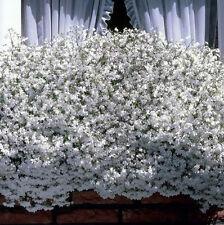 Lobelia Snow White Cascade 200 Seeds Beautiful Ground Cover Rock Garden