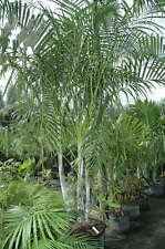 Palmera de Madagascar - DYPSIS ARENARUM - 6 Semillas