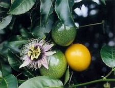 GOLDEN PASSIONFRUIT 50 + FRESH SEEDS, LARGE JUICY FRUIT, EASY TO GROW