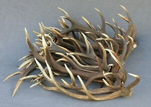 GRADE A PREMIUM RED DEER ANTLERS BY THE POUND