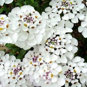 Pack x6 Iberis 'MASTERPIECE' Sempervirens 'Candytuft' Perennial Plug Plants