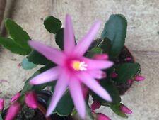Pink Easter Cactus 15 fresh seeds  Rhipsalidopsis gaertneri SEEDS