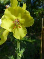 Wand Mullein (Verbascum virgatum) ✤ 200 Seeds