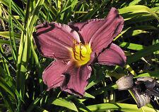 Taglilie Hemerocallis Allenhurst Fairy Sommerblüher