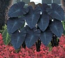 GIANT ◇ XL LIVE Plant ◇ Colocasia esculenta Black Magic BULB Elephant Ear