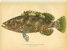 1902 Rare Antique Fish Print ~ Rock Hind ~