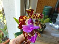 "Wow Cattleya aclandiae 'Exotic Jaguar' Bloom size 4"" pot Large Species"