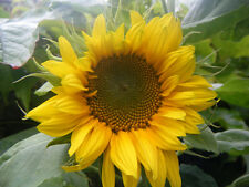 Liveseeds - Sunflower Giant Yellow Single 20 seeds
