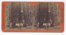 1870's GRISLEY GIANT, MARIPOSA GROVE CA BIERSTADT STEREOVIEW PHOTO No. 1213.