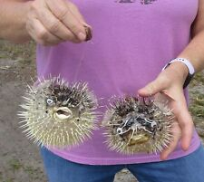 2 piece lot of 6 inch Porcupine Blowfish Puffer fish w/hanger taxidermy #39992
