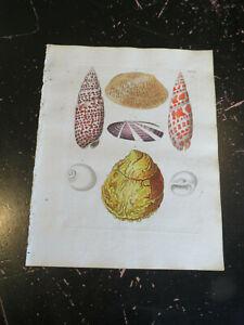 Shells - Wolfgang Knorr, Nuremberg, ca: 1764, Plate # VI