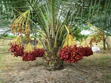 Nectar Fruit 10 seeds Phoenix Dactylifera, Dates Dating rate noir