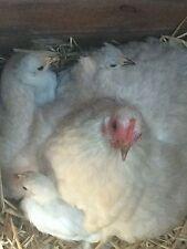 Isabella Pekin Bantam Hatching Eggs