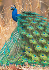Beautiful Peacock -  Birds - 3D Lenticular Postcard Greeting Card