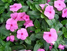 40+ Vinca Pink Periwinkle Flower Seeds / Annual